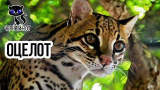 Оцелот - хищная американская кошка / Интересные факты о кошках