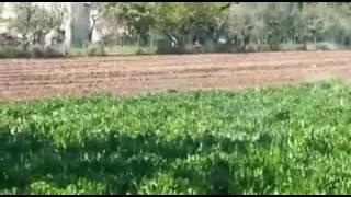 Molfetta. Cinghiali nelle campagne