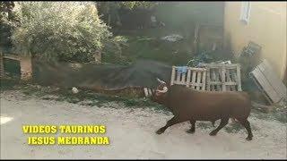 Encierro Romancos 06-10-18 (Salida al Campo)