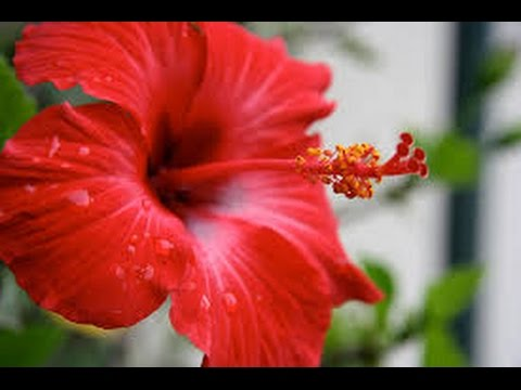 Natural Home Remedies For Baldness And Hair Fall With Hibiscus