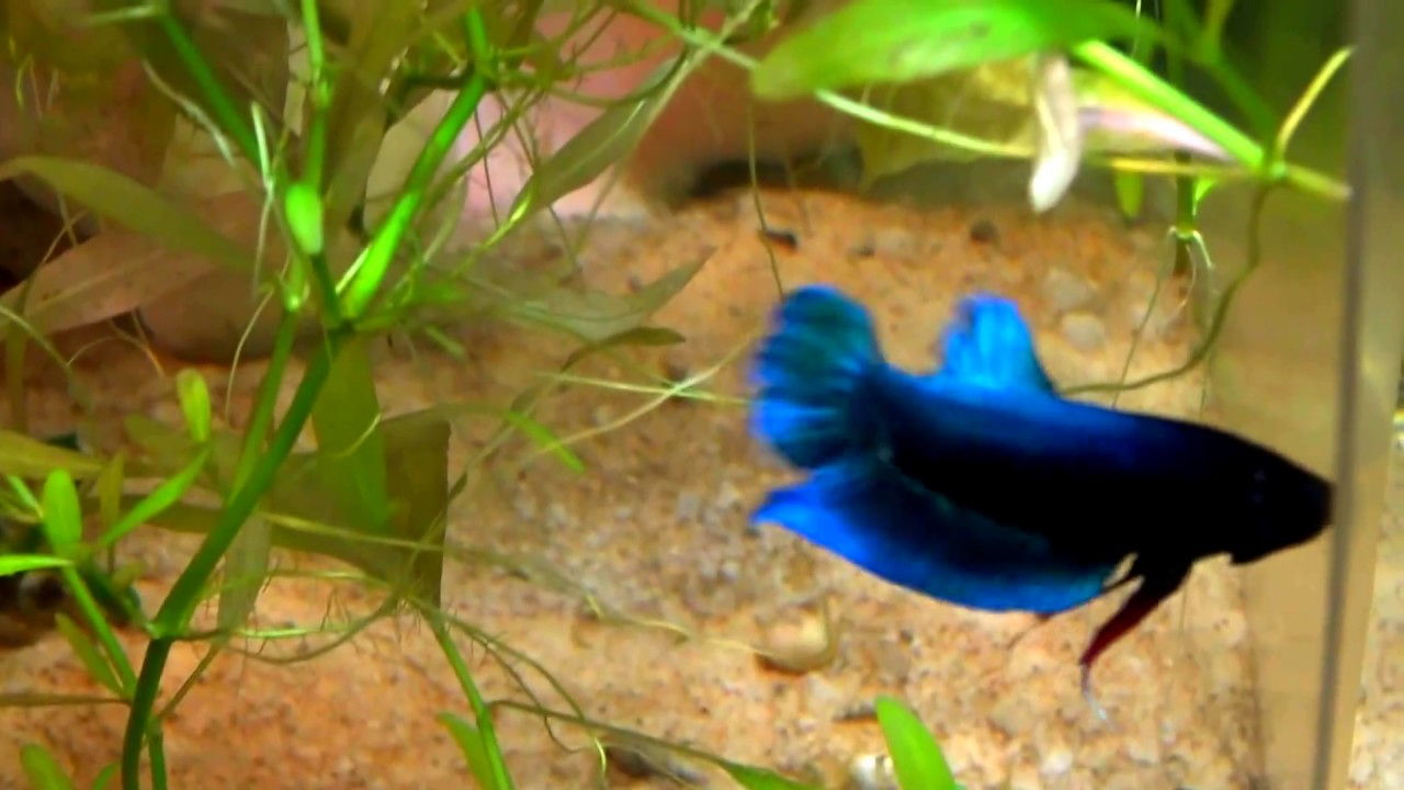 How to Breed Betta Fish | HowStuffWorks