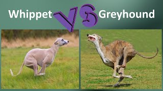 Whippet VS Greyhound  Breed Comparison  Greyhound and Whippet Differences