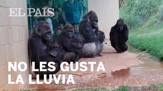 La curiosa reacción de unos gorilas para escapar de la lluvia