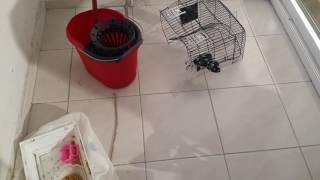muhabbet kuşlarım kavga etti ve kötü olaylar!!!