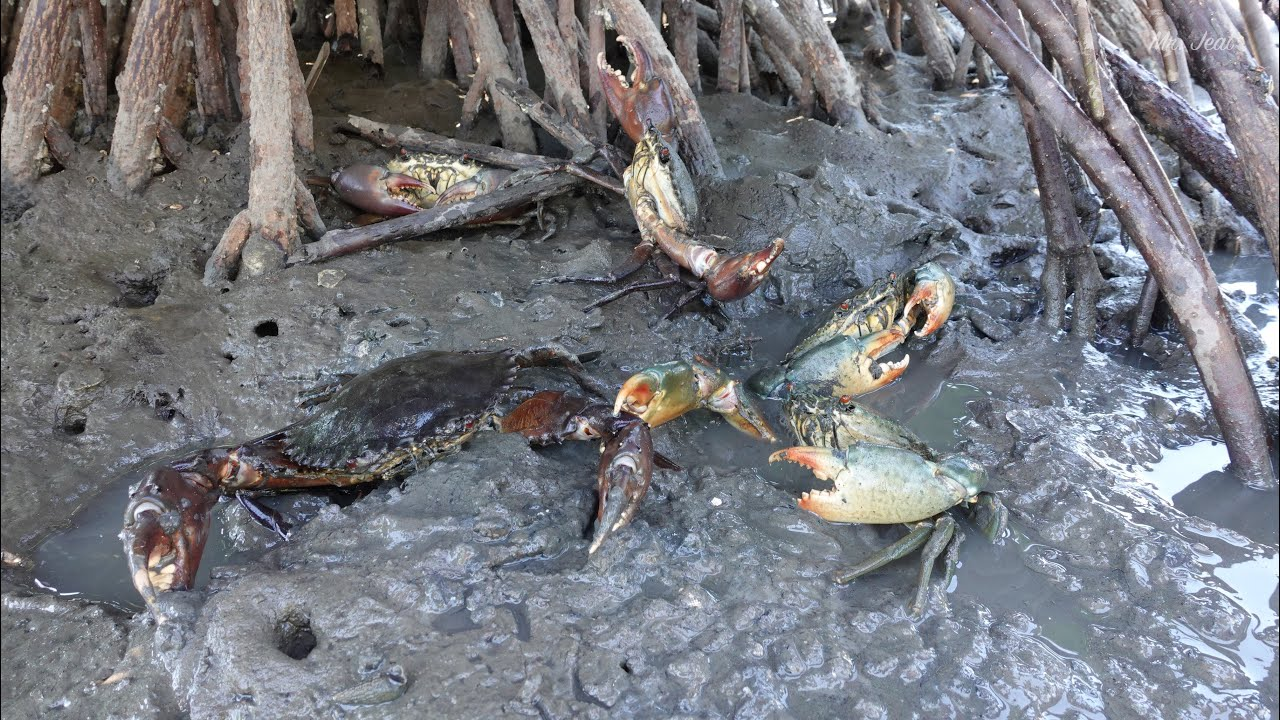 Amazing Finding Many Mud Crabs In Water at Sea Swamp | Traditional Fishing Sea Crabs