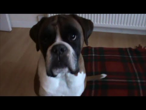 Boxer dog Alfie reacts to Cher singing 'Alfie'