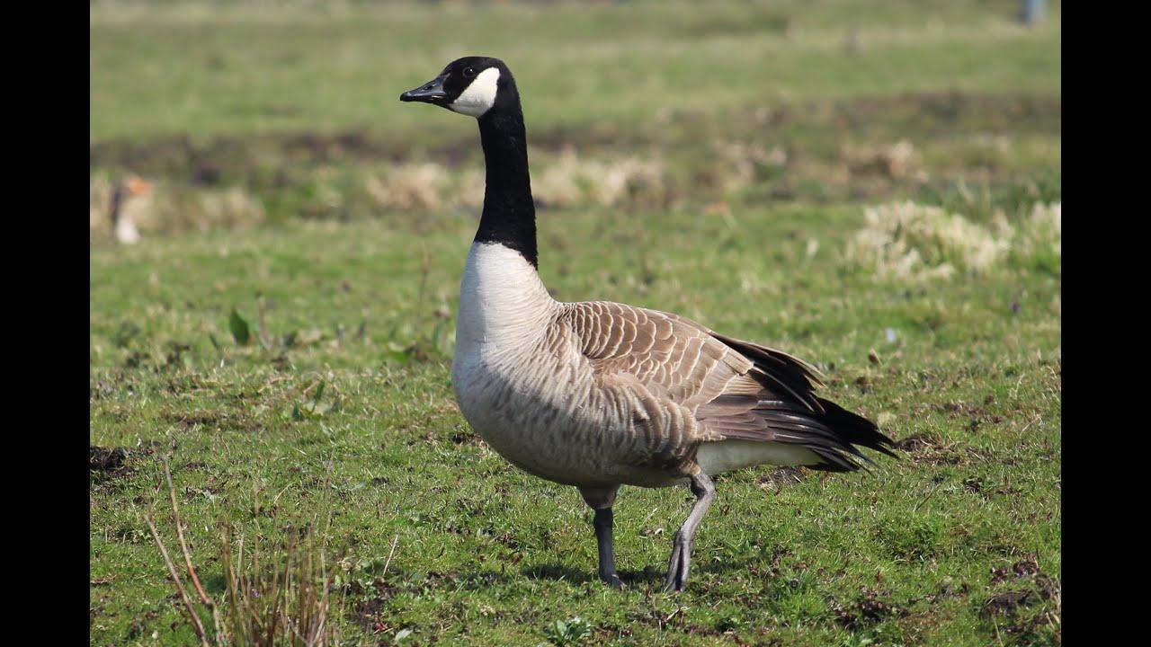 canada goose contact