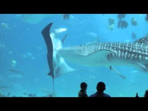 Whale Shark Collides With Manta Ray