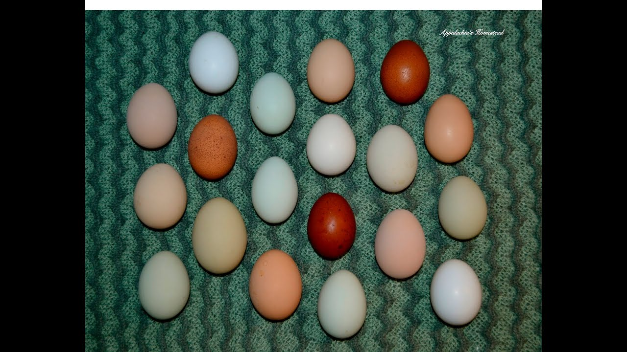 When Will My Hens Start Laying Eggs? - YouTube