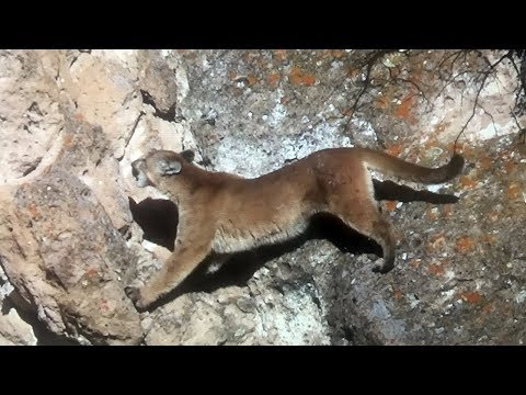 Epic Mountain Lion Hunt. Lion Scales Cliff