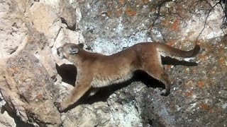 Epic Mountain Lion Hunt. Lion scales cliff