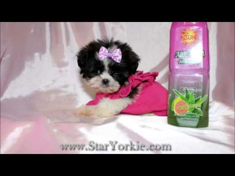 Teacup Shih-Tzu Puppies For Sale In Los Angeles California