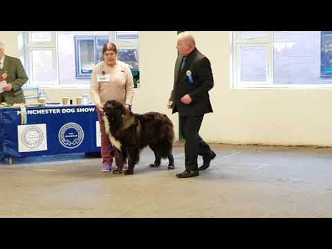 Manchester Championship Dog Show 2019 AVNSC Estrela Mountain Dog OPEN Dog Class and Results.