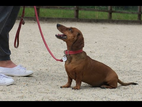 Boo - 7 Year Old Miniature Dachshund - 3 Weeks Residential Dog Training