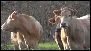 Vaches allaitantes - Décembre 2012