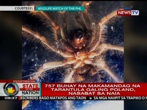 SONA: 757 buhay na makamandag na tarantula galing Poland, nasabat sa NAIA
