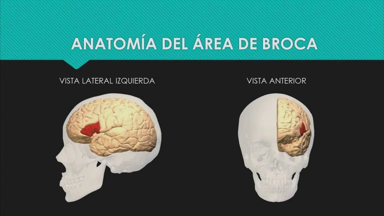 Área de Broca Neuroanatomía Misael Moreno - YouTube