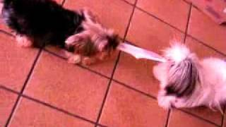 Cute Shih Tzu Playing With Yorkshire Terrier
