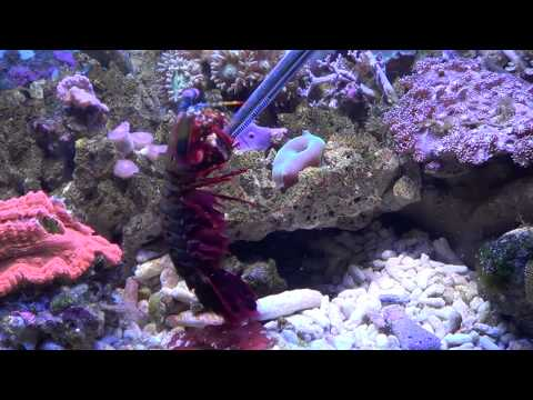 Odontodactylus scyllarus - Peacock Mantis Shrimp have a Snack ^^ (1080p)