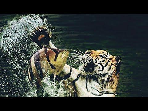Indonesian Tiger Fish-Tamil-Care +Feeding+Breeding-EshwarGandhi