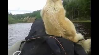 Падение собаки с лодки на ходу