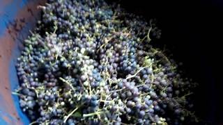Укрощение Строптивого или танец на винограде
