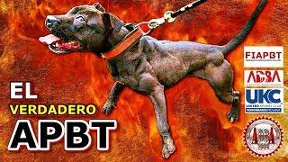 AMERICAN PITBULL TERRIER (El verdadero APBT) | Raza de perros, pura y muy antigua