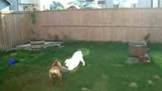 Daisy The Bulldog Has The Zoomies!