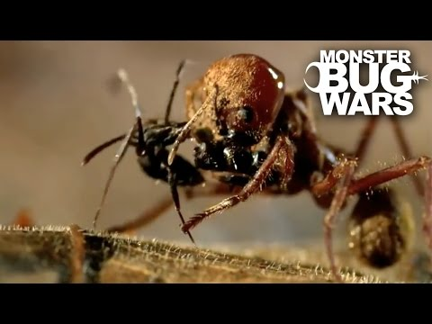 Thumbnail: Leafcutter Ant Soldier vs Speckled House Spider | MONSTER BUG WARS