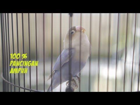 Pancingan Lovebird Ngetik Ngekek Panjang Ampuh Gacor