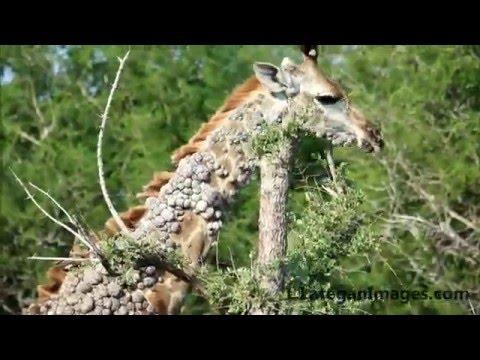 Giraffe with Papilloma warts