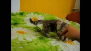 Британский котенок Элизабет. Окрас шоколадный мрамор на серебре. Elite British - питомник