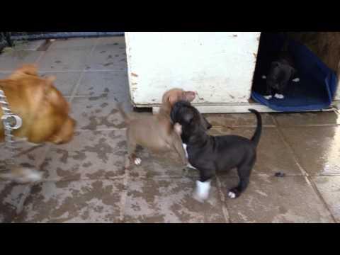 Pitbull puppies Play fighting