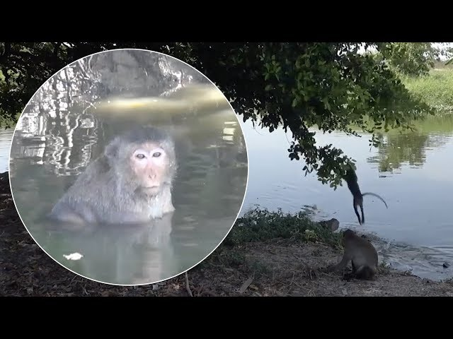 Monkeys Play In Pond During 40C Temperatures