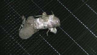 タイムラプスでの撮影です。羽化の途中固定がうまくいってなく落ちてし...
