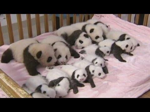 China shows off 14 giant panda cubs