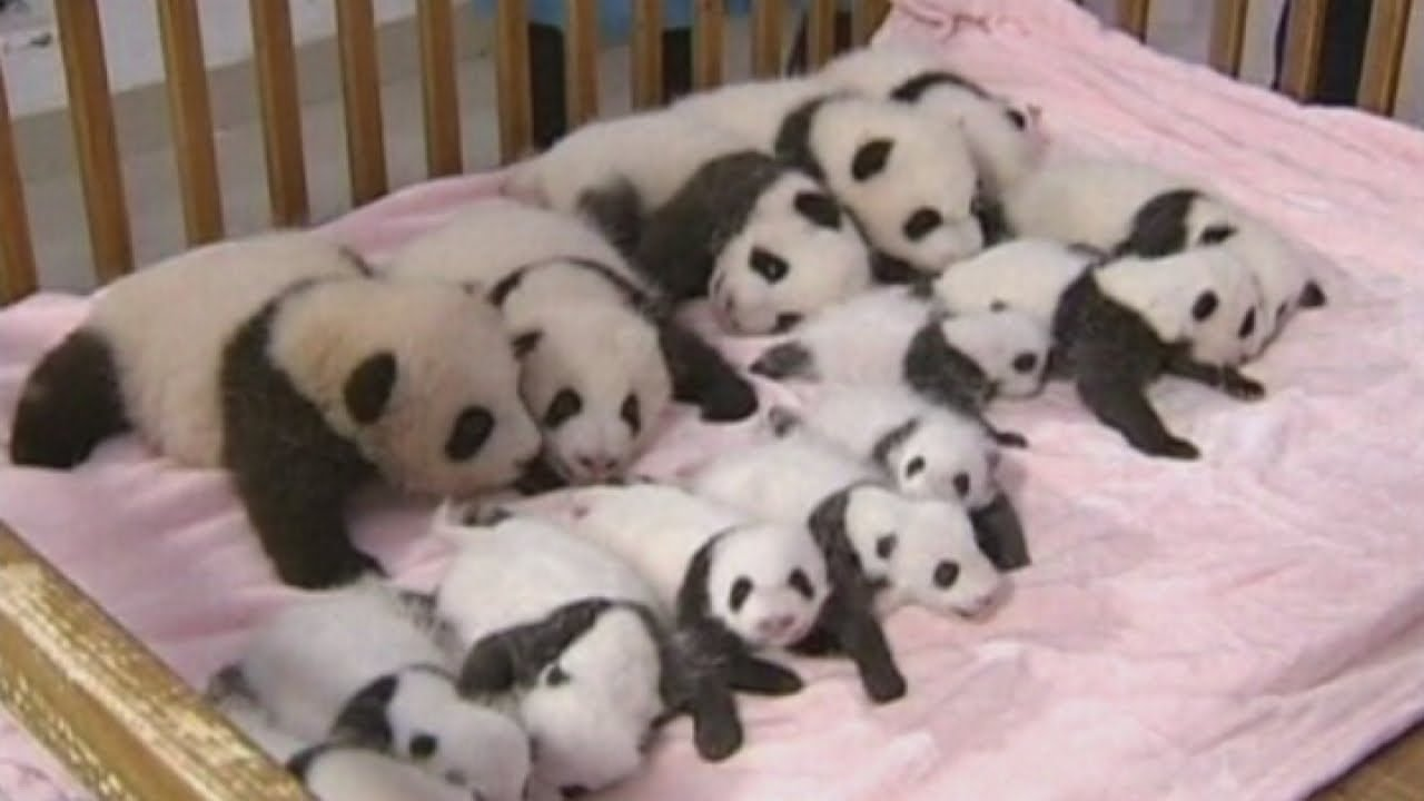 China shows off 14 giant panda cubs