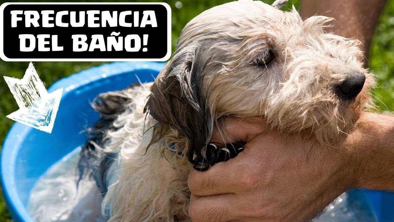 Cada cuanto se ba a un perro la frecuencia ideal que - Es malo banar mucho a los perros ...