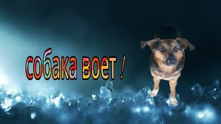 Собака воет!