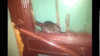 Серая кошка против серой крысы. Смешная победа крысы.