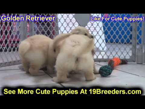 golden-retriver,-puppies-for-sale,-in,-bellevue,-washington,-wa,-yakima,-kitsap,-thurston,-clark,-sp
