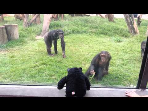Confused Chimps at Sao Paulo Zoo, Brazil