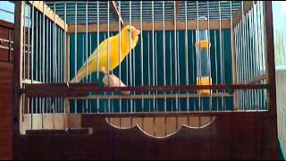 Russian Singer canaries,Russin Canary song Trainging