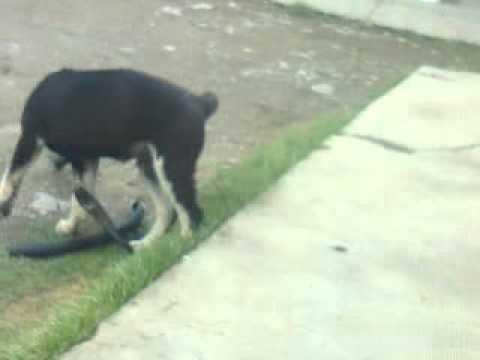 Помесь ротвейлера и немецкой овчарки (щенок Рекс 3 месяца)