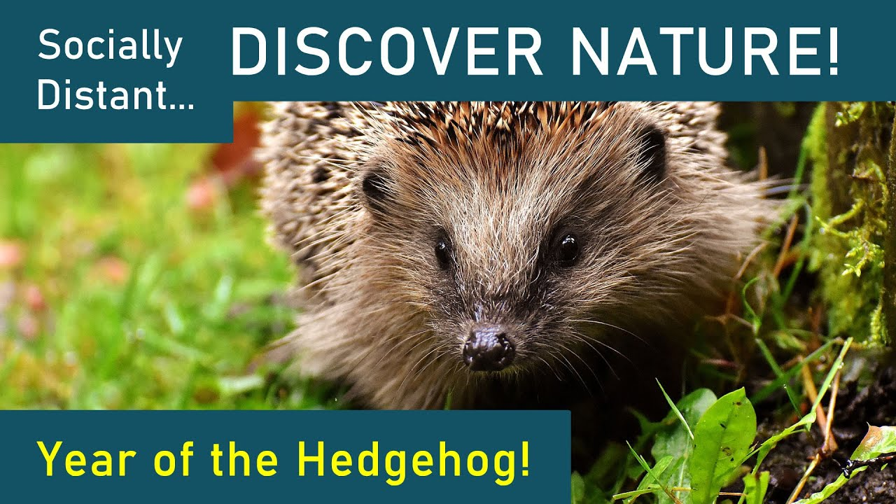 Year of the Hedgehog - Discover Nature #32