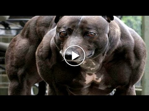 Top 10 Top 10 Most Strongest Dogs In The World