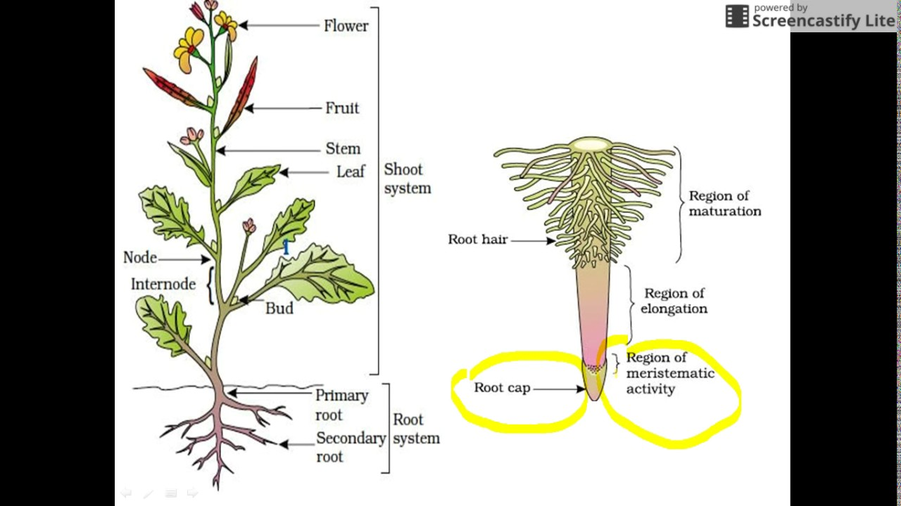 Plant Morphology For Neet And Aiims Root 1 Youtube