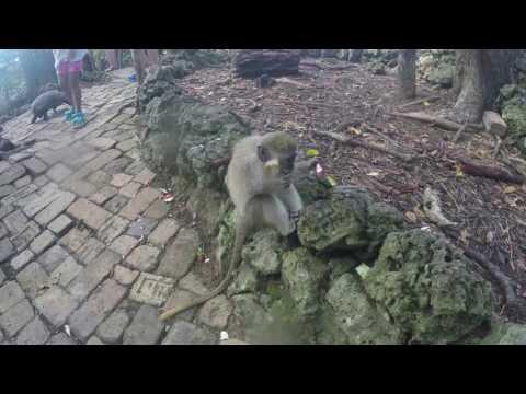 Barbados - Barbados Wildlife Reserve - St. Peter Parish - 2017