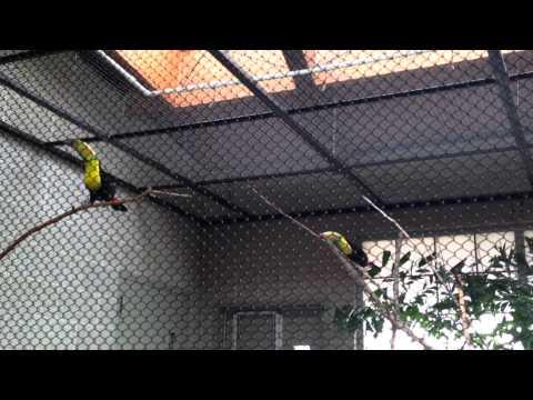 Keel-billed Toucans Pair-Bonding