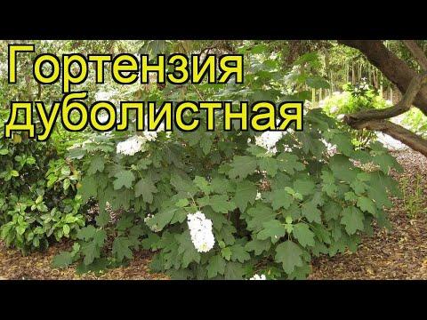 Гортензия дуболистная. Краткий обзор, описание характеристик hydrangea quercifolia